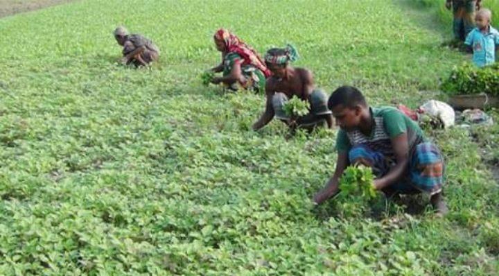 ভোলায় শীতকালীন সবজি চাষে ব্যস্ত কৃষকরা